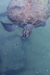 A Hawksbill turtle at the Turtle Rehabilitation Project at Madinat Jumeirah Resort in Dubai.
