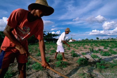 Rural laborers tending to manioc crop in Bahia State in Brazil's parched Northeast
