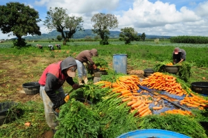 Agriculture workers collect carrots on a farm in Chimaltenango, Guatemala.