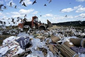 Birds scavenging for food amidst the debris at the landfill in Danbury, Connecticut in the United States.